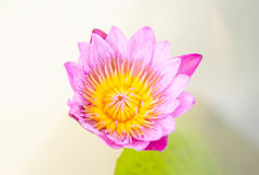 Closseup beautiful water lily or lotus flower Stock Photo