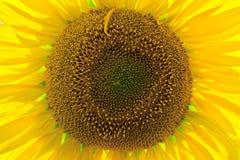 Clost предпосылки солнцецвета вверх в поле Стоковое Изображение