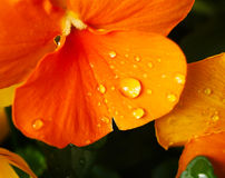 Clost arbeta i trädgården övre vattendroppar på altfiolblomman i japan Royaltyfria Bilder
