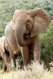 Clost Up of The African Bush Elephant. The African bush elephant is the larger of the two species of African elephant. Both it and the African forest elephant royalty free stock photo