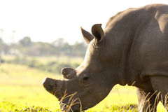 Clost up of Rhino - The Rhinoceros - Rhinocerotidae. Clost up of Rhino - A rhinoceros, often abbreviated to rhino, is one of any five extant species of odd-toed royalty free stock images