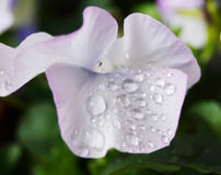 Clost up Water drops on  Viola flower in japanese garden Royalty Free Stock Photo