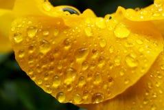 Clost vers le haut de l'eau se laisse tomber sur la fleur d'alto dans le jardin japonais Photographie stock