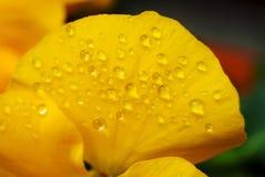 Clost vers le haut de l'eau se laisse tomber sur la fleur d'alto dans le jardin japonais Photo libre de droits
