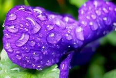 Clost wody krople na altówka kwiacie w japończyku up uprawiają ogródek Zdjęcia Stock