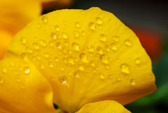 Clost wody krople na altówka kwiacie w japończyku up uprawiają ogródek Zdjęcie Royalty Free