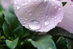 Clost wody krople na altówka kwiacie w japończyku up uprawiają ogródek Obrazy Royalty Free