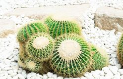 Closue up Barrel Cactus Echinocactus grusonii background texture. Closue up Barrel Cactus Echinocactus grusonii background royalty free stock images