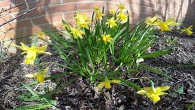 Closueup från påskliljor i trädgården arkivfilmer