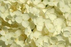 closup białe kwiaty Zdjęcia Royalty Free