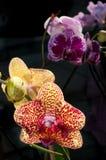 Closup da orquídea Imagem de Stock Royalty Free