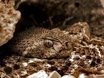 Closup da serpente do chocalho Imagens de Stock Royalty Free