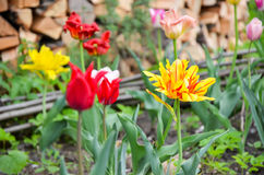 Closup da tulipa ou das tulipas, tulipas coloridas Imagem de Stock Royalty Free