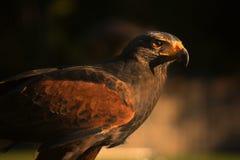 Closup de faucon dans le coucher du soleil Images libres de droits