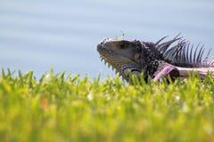 Closup de la iguana enorme Imagen de archivo