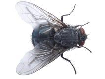 Closup de la mosca fotografía de archivo libre de regalías
