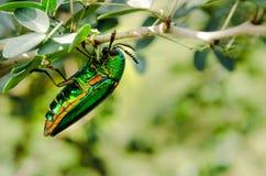 Closup degli insetti dello scarabeo del gioiello Fotografia Stock