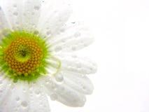 Gänseblümchenblume Lizenzfreies Stockbild