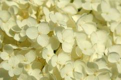 Closup der weißen Blüten Lizenzfreie Stockfotos