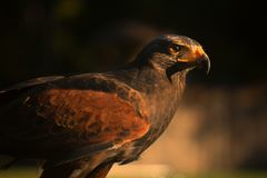 Closup des Falken im Sonnenuntergang Lizenzfreie Stockbilder