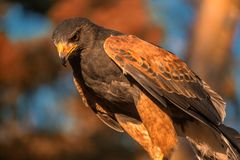 Closup des Falken im Sonnenuntergang Lizenzfreies Stockfoto