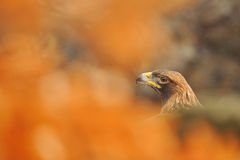 Golden eagle portrait Stock Images