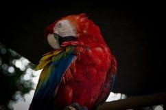 Closup do papagaio imagem de stock