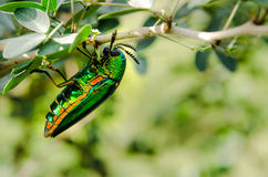 Closup dos insetos do besouro da joia Fotografia de Stock