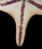 Closup dos Starfish Imagens de Stock Royalty Free