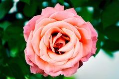Closup för bästa sikt från en ros i en trädgård arkivbild