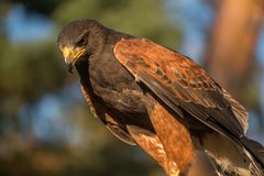 Closup of Falcon in the sunset Stock Image