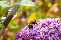 Closup fedding przy buddleja davidii motylim krzakiem dzika pszczoła kwitnie głębokość pola płytki Zdjęcia Stock