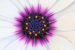 Closup flower Daisy. Closup flower White Cape Daisy with Purple Center Royalty Free Stock Image