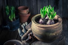 Closup of green plants in old clay pots. In spring Royalty Free Stock Photography