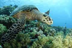 Closup of a hawksbill turtle Stock Photos