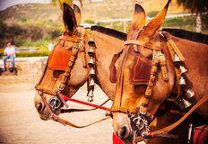 Closeup on horses in a harness during a riding show in a tourist town stock images