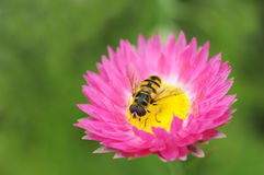 Closup of Hover Fly Royalty Free Stock Photo