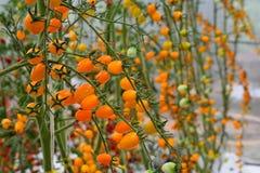 Closup jaune de tomates dans la ferme de serre chaude, il y a nouveau moderne d'affaires image stock