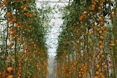 Closup jaune de tomates dans la ferme de serre chaude, il y a nouveau moderne d'affaires images stock