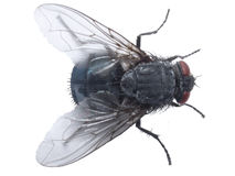 closup komarnica Fotografia Royalty Free