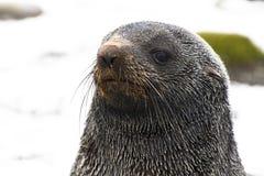 Closup młoda foka fotografia stock