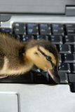 Closup of Mallard Duckling on Computer Keyboard Royalty Free Stock Photo
