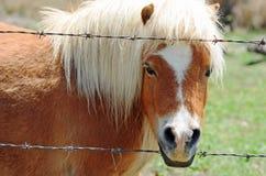 Closup miniatura sano grasso minuscolo del cavallino di dimensione del fronte Fotografia Stock Libera da Diritti