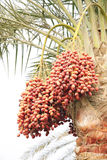 Closup of Orange, reddish brown and dark brown rip. Dates are fruits that have been a staple food of the Middle East Royalty Free Stock Photo