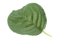 Closup plum leaf on white Stock Image