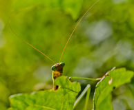 Closup of praying mantis on a leaf. Macro of head of a praying mantis Royalty Free Stock Photos