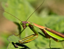 Closup of praying mantis on a leaf. Macro of upper body of a praying mantis Royalty Free Stock Photography