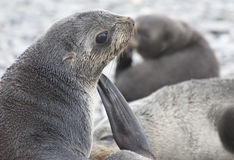 Antarctic fur seal Royalty Free Stock Photography