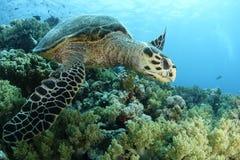 Closup van een hawksbillschildpad stock foto's