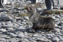 Young antarctica fur seal Royalty Free Stock Images
